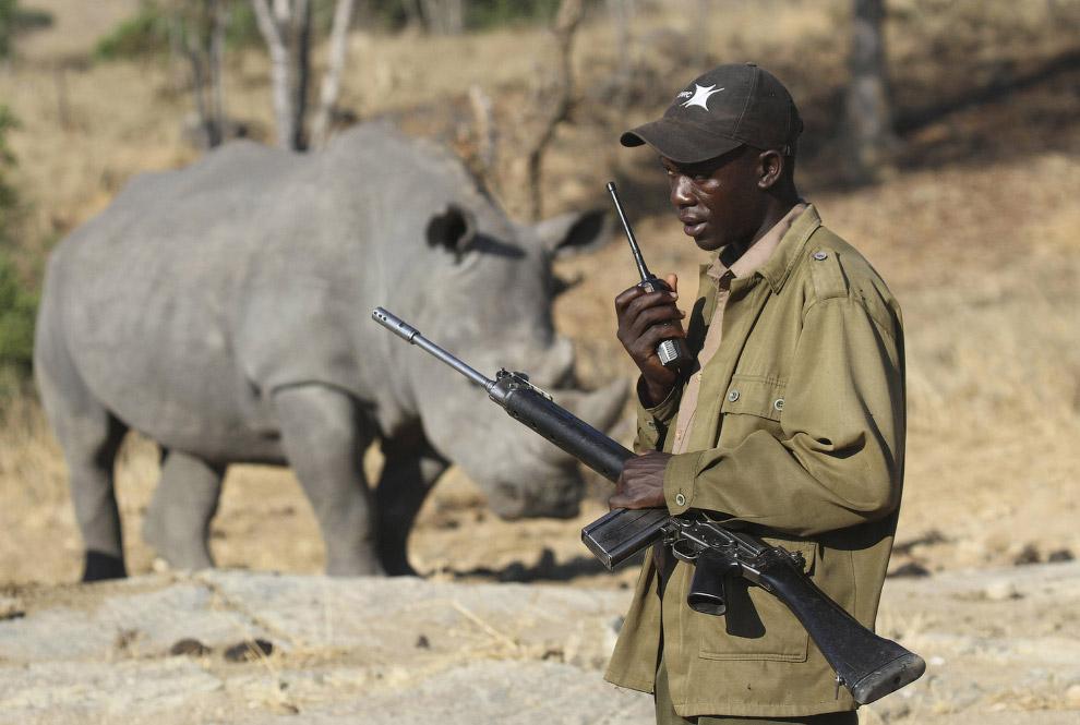 Вооруженные рейнджеры охраняют последних в мире северных белых носорогов
