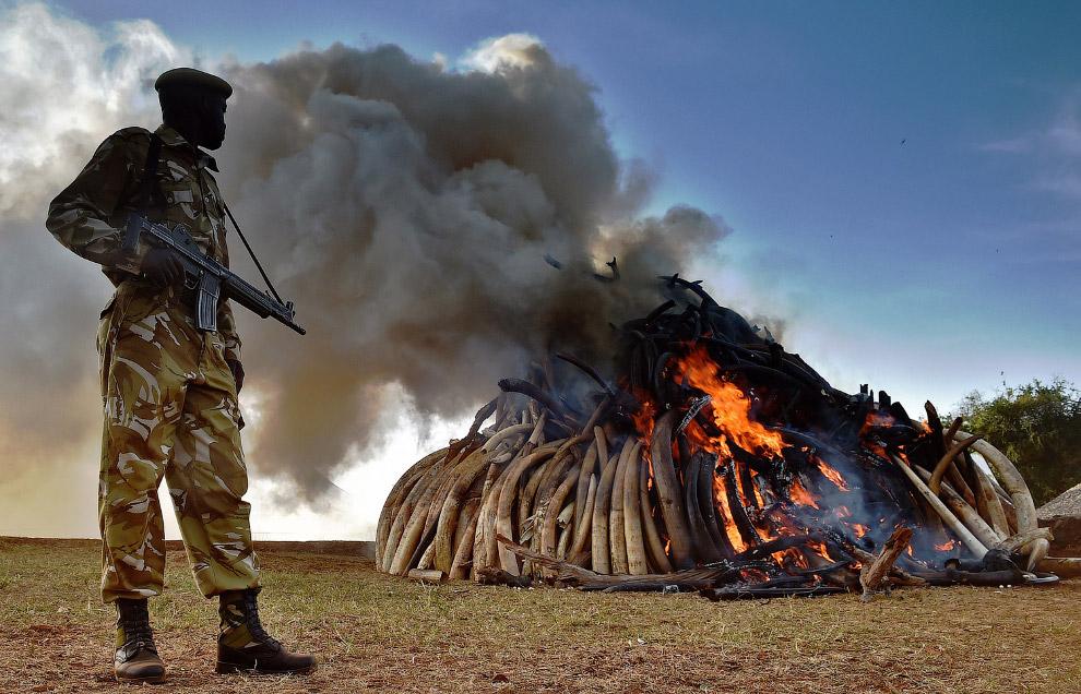 Уничтожение 15 тонн слоновой кости, изъятой в Кении в Национальном парке Найроби у браконьеров
