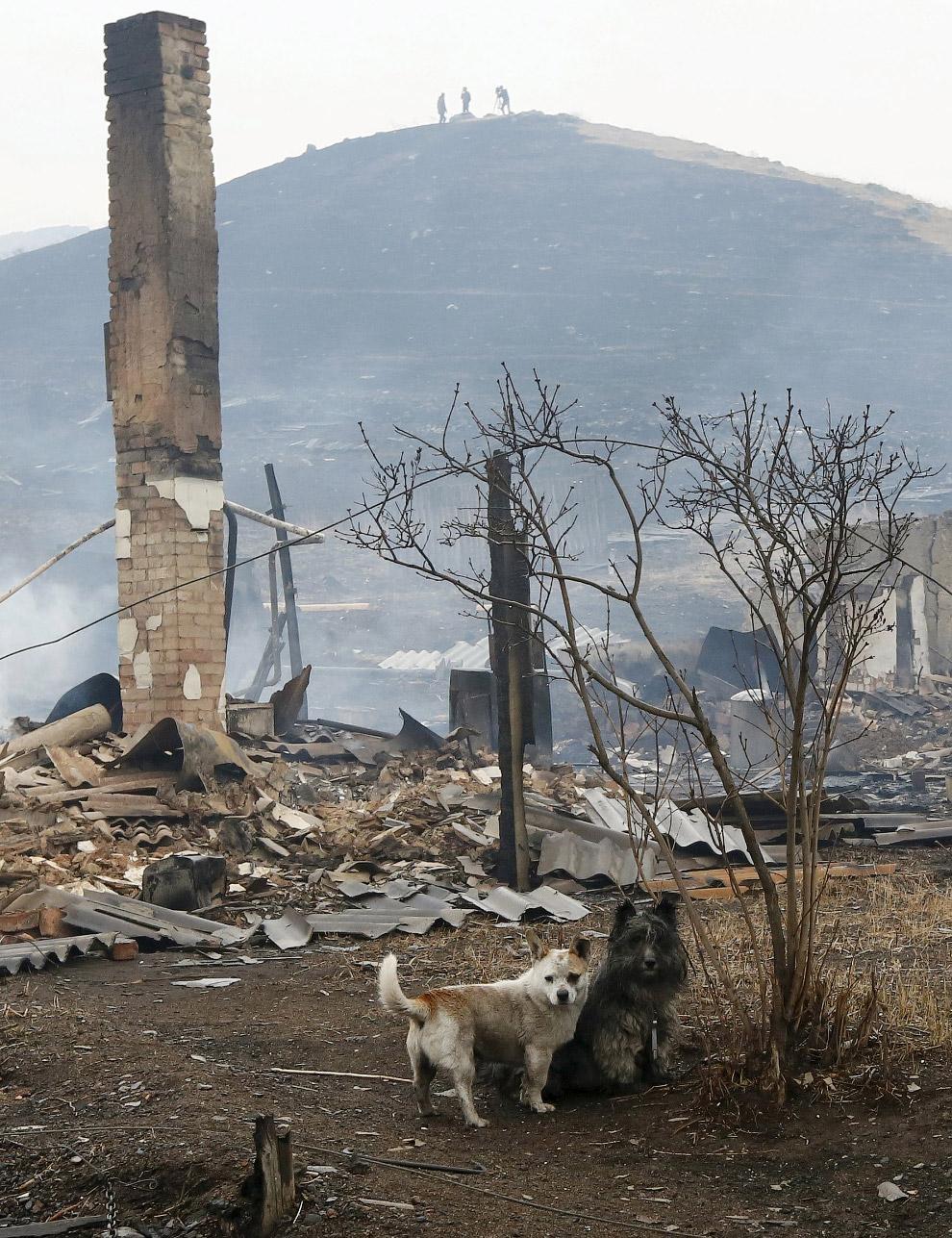 Местные собаки, поселок Шира, Хакасия