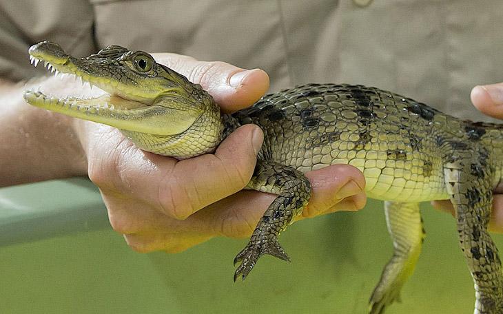 7 однолетних крокодильчиков отправляются из зоопарка в Мельбурне на Филиппины