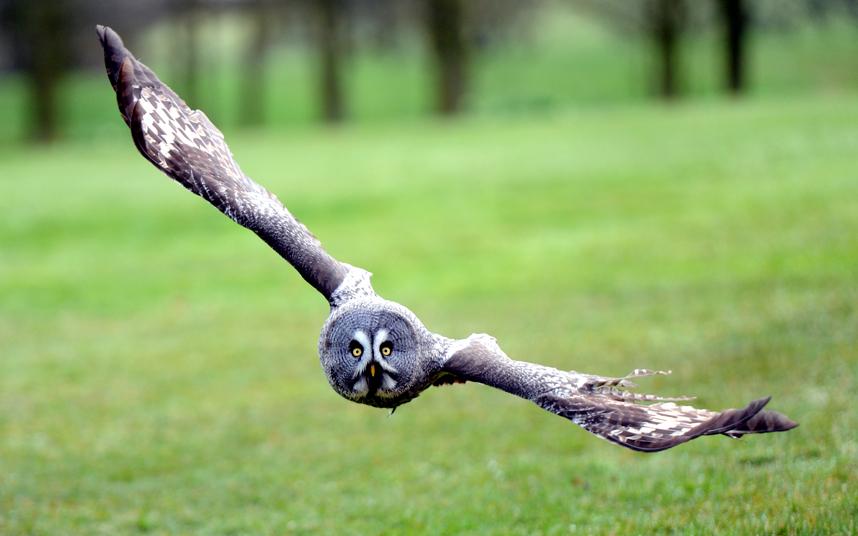 Большая серая сова в графстве Глостершир