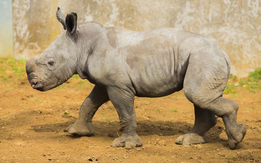 Новорожденный белый носорог в парке в Англии