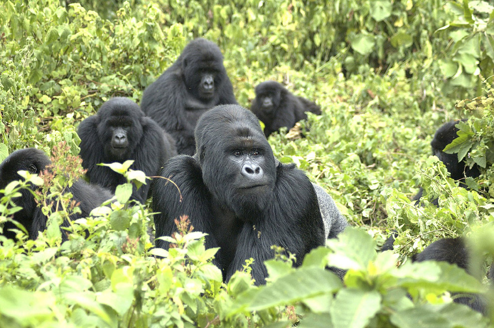 Семья горных горилл на границе Руанды, Уганды и Демократической Республики Конго