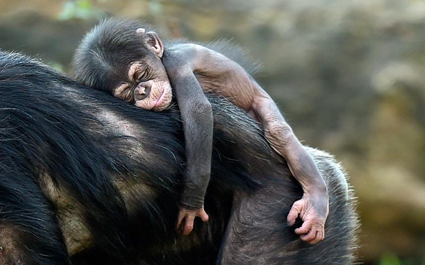 Шимпанзе на маме в зоопарке в Гельзенкирхене, Германия
