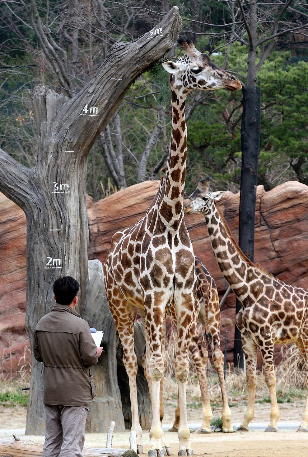 Измерение высоты жирафа, Южная Корея