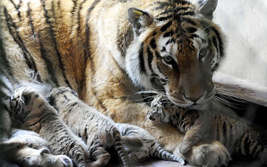 Амурские тигры в в Шэньяне