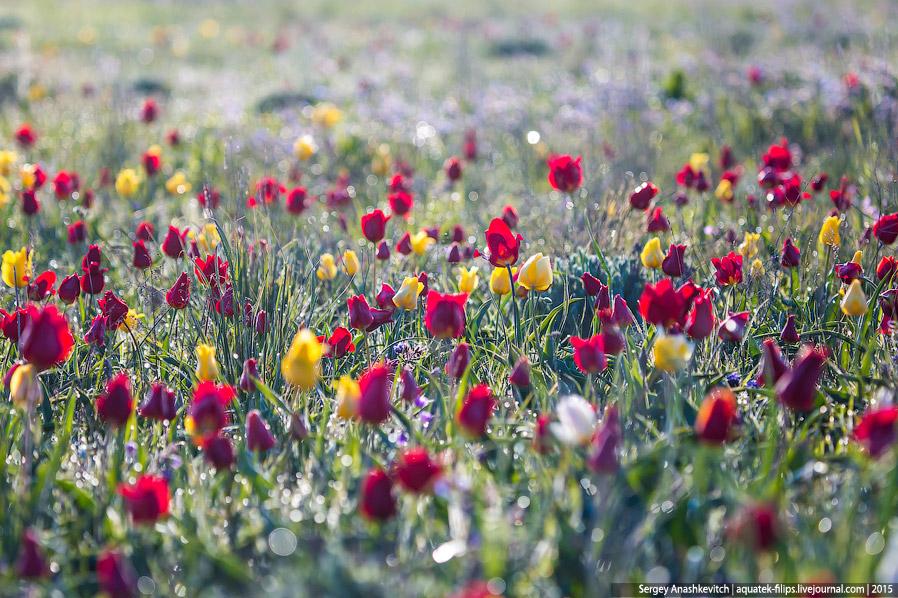 Это тюльпаны Шренка.