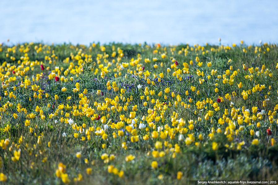 А это тюльпаны Биберштейна