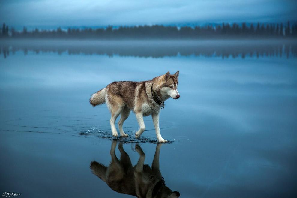 сибирские хаски гуляют по замерзшему озеру