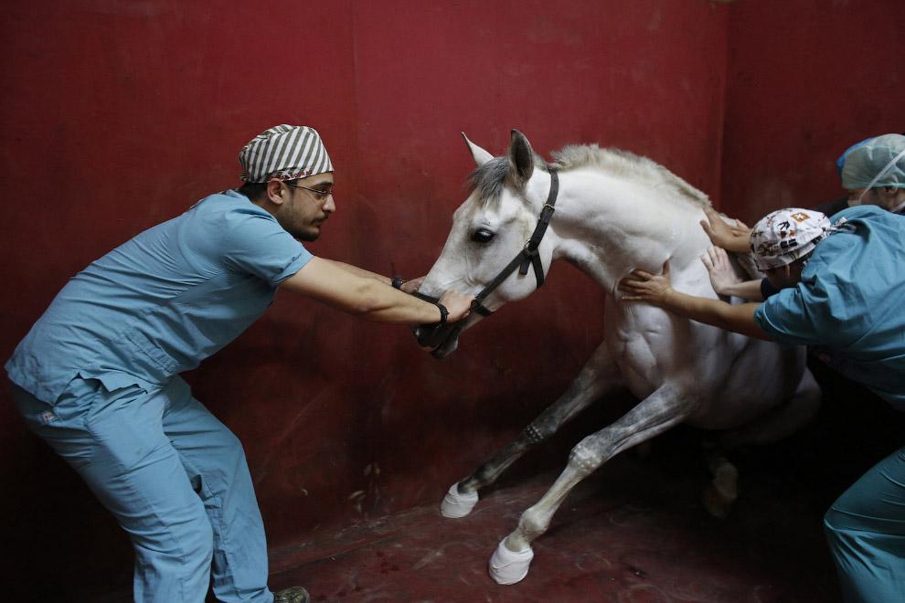 Лошади на приеме у хирурга