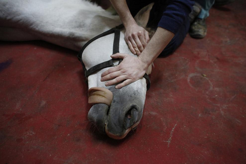 Этой лошади тоже ввели анестезию и она потеряла сознание