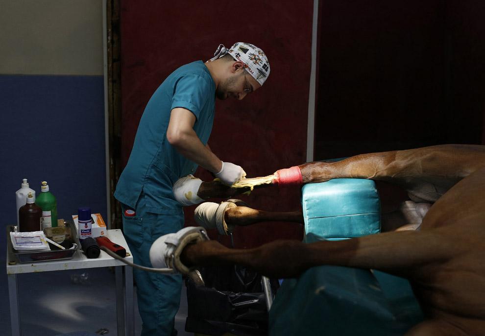 Хирург бреет ногу лошади перед началом операции по удалению костных фрагментов после травмы на ипподроме