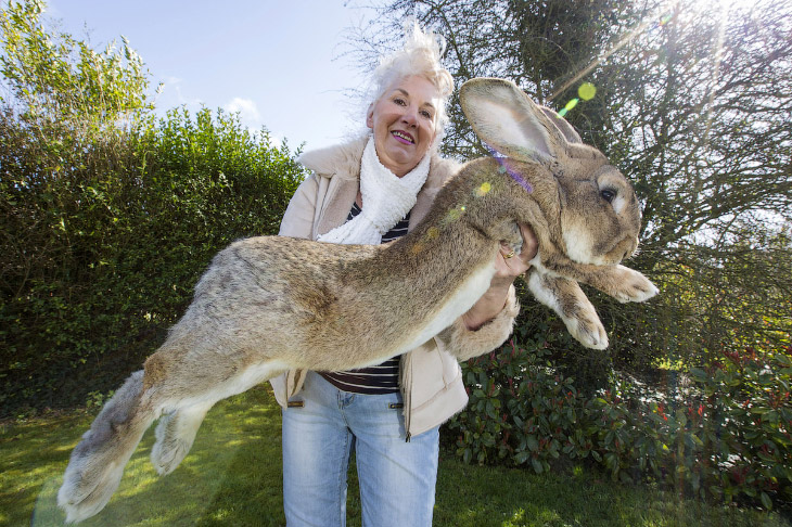 Картинки по запросу Самый большой кролик в мире