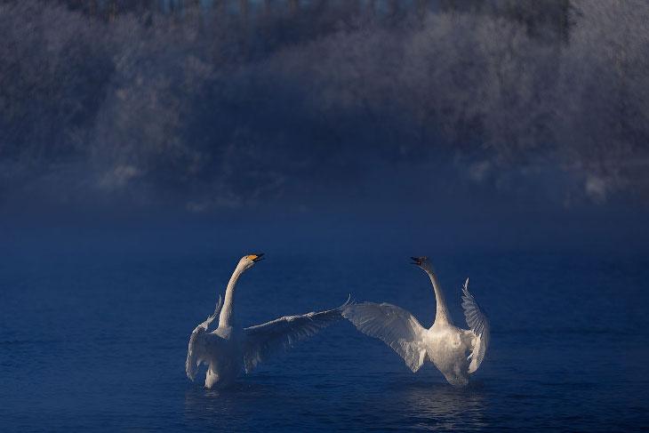 Лебединые истории