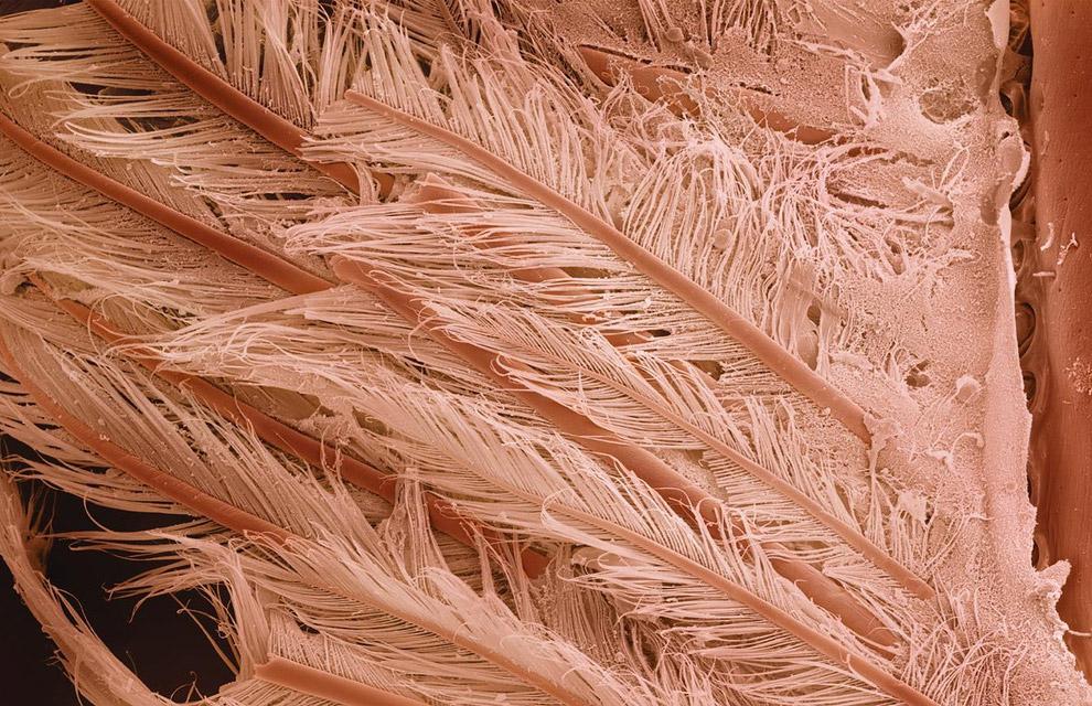 Хвостик креветки