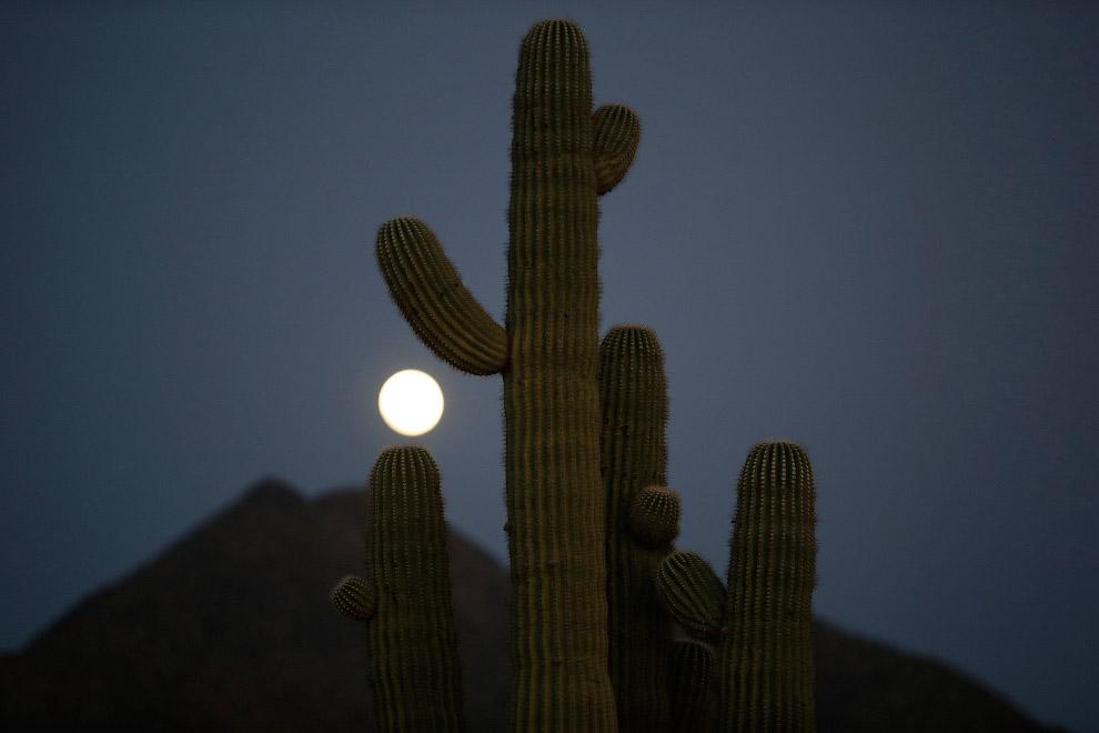Полная луна поднимается над кактусом в Фениксе, штат Аризона