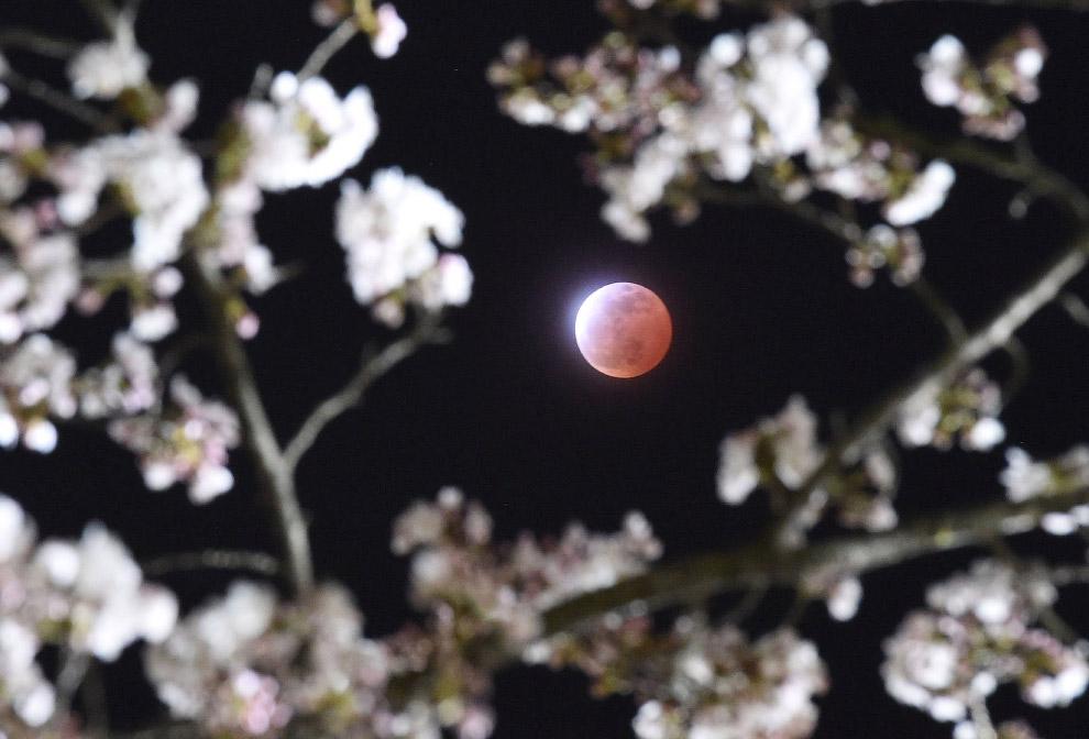 Полное лунное затмение и цветение вишни в префектуре Мияги, Япония