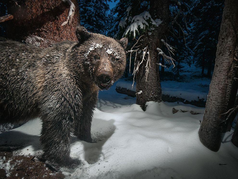 Автоматическая камера-ловушка запечатлела медведя в Йеллоустонском национальном парке