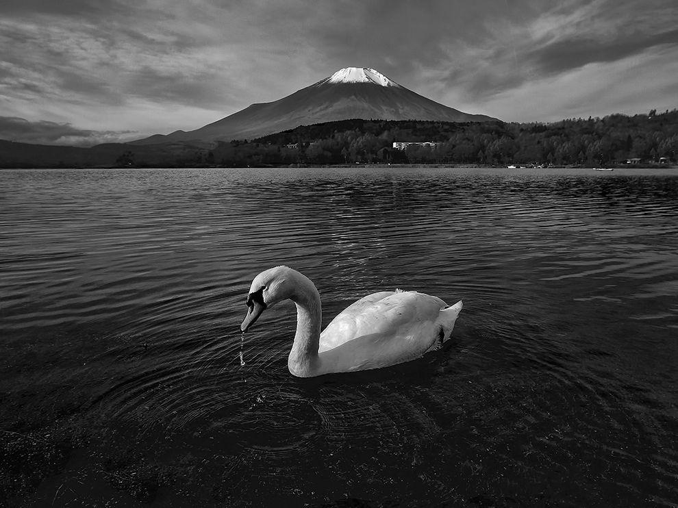 Лебедь и гора Фудзи, Япония