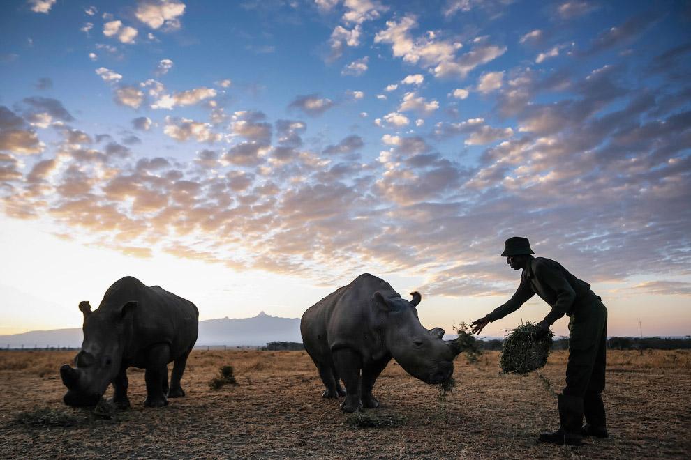Это две последние самки северного белого носорога на планете