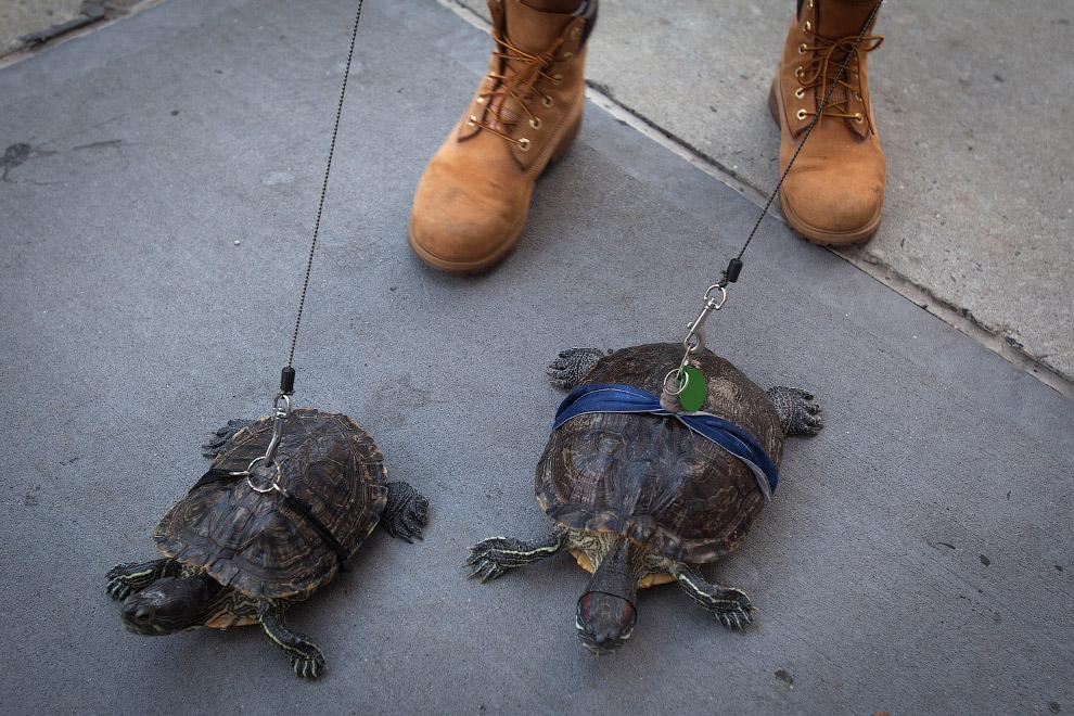 Этот товарищ ежедневно выгуливает двух своих черепах на Манхэттене, Нью-Йорк