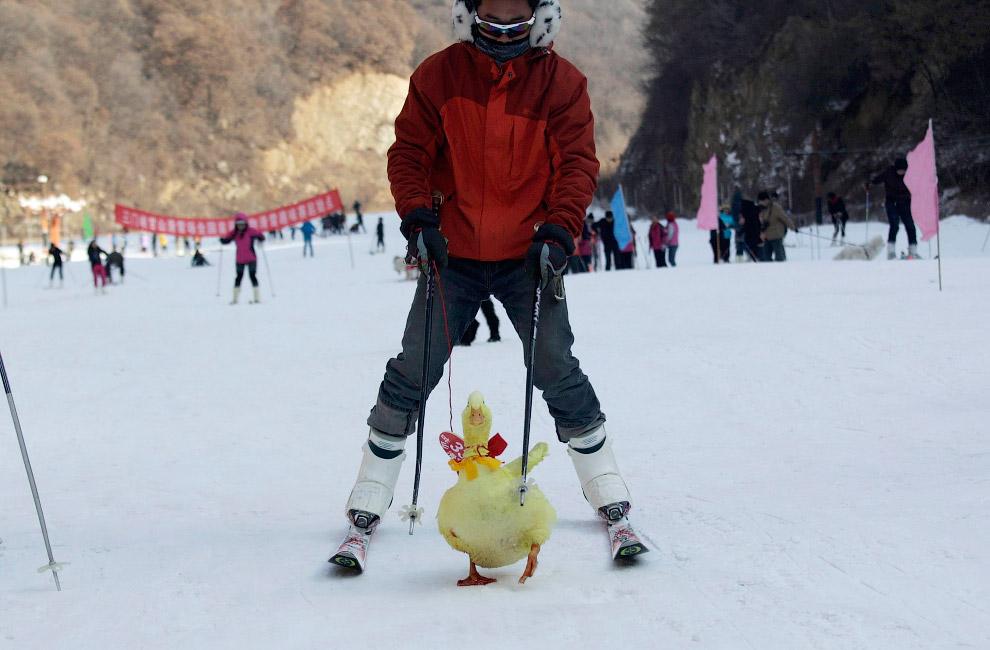Хозяин взял с собой на горнолыжный курорт в провинции Хэнань своего домашнего друга — утку