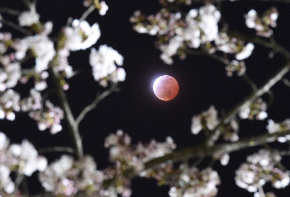 Полное лунное затмение и вишни в префектуре Мияги