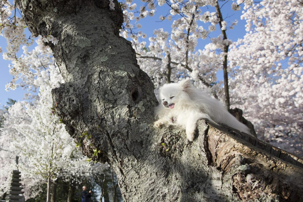 Цветение вишни в Вашингтоне