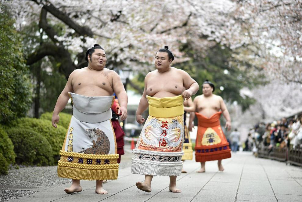 Борцы сумо на фоне вишневого цвета
