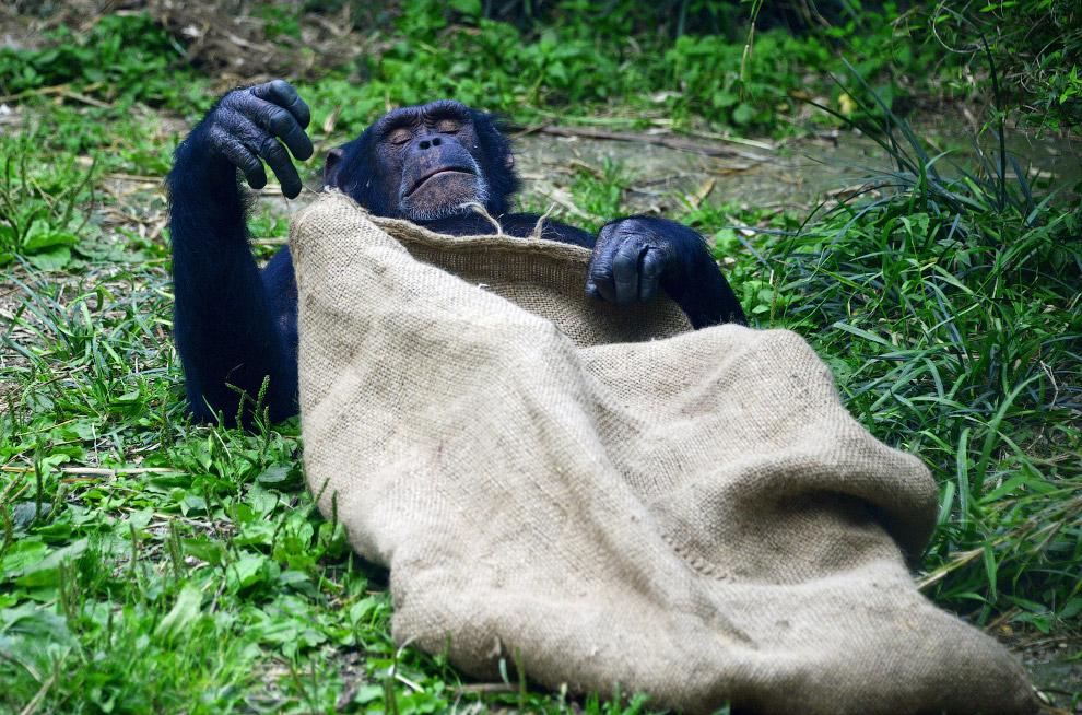 Шимпанзе в зоопарке в Чэнду, Китай