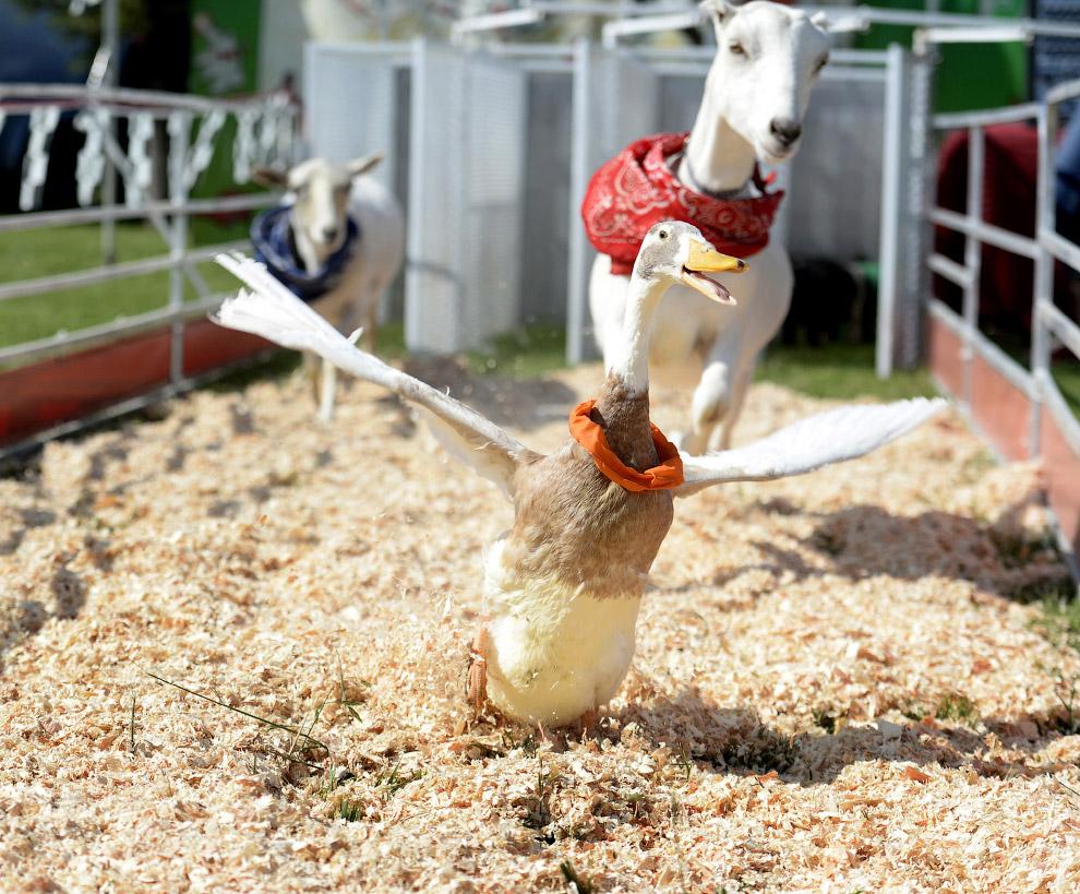Межвидовая гонка среди животных, в которой учувствовали козы, овцы, куры, свиньи и утки