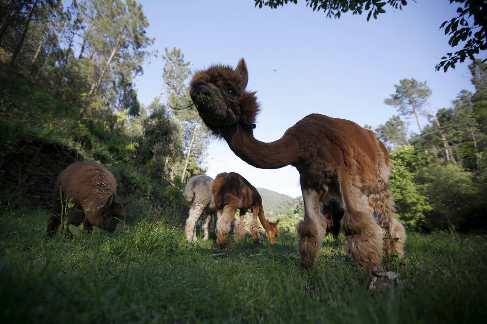 В природе существует два вида альпак, которые отличаются только по внешнему виду шерсти