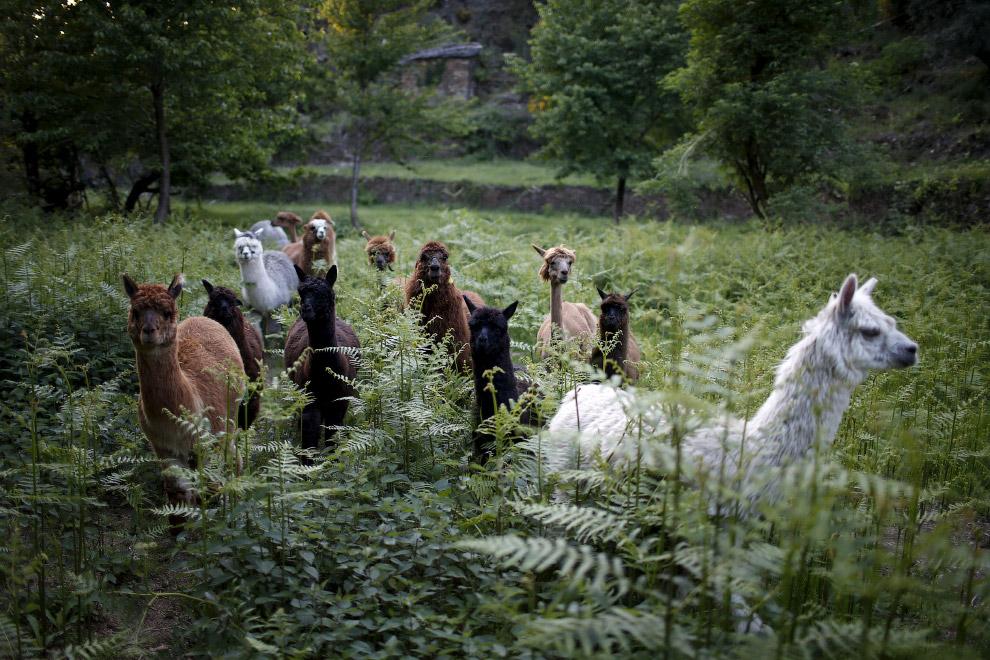 Альпаки возле фермы