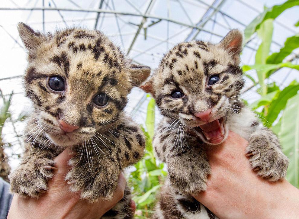 Дымчатые леопарды, родившиеся в начале марта 2015 года в зоопарке Бельгии