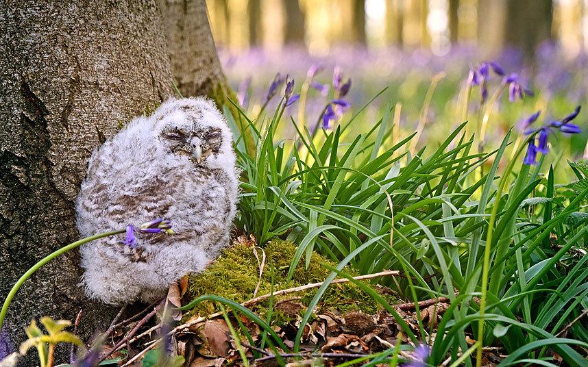 Маленькая сова в графстве Гемпшир