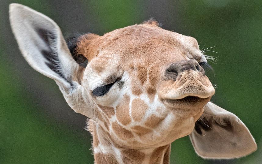 Новорожденный жираф в зоопарке Эрфурта в Германии