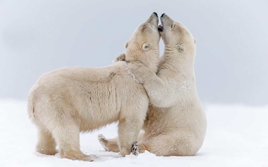 Игры белых медведей на Аляске