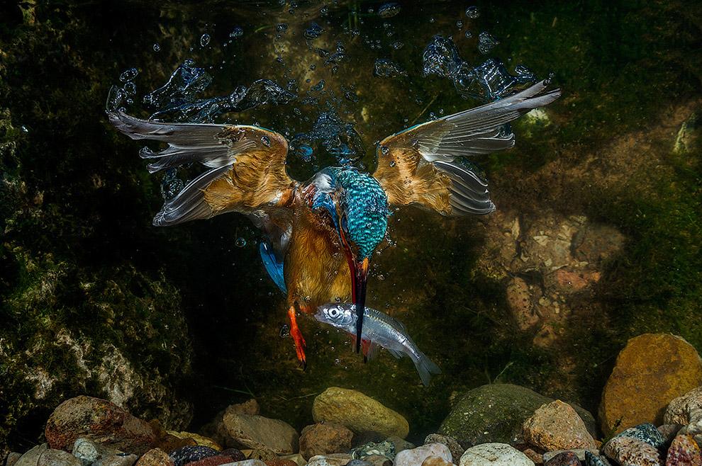Зимородок ловит рыбу под водой в Трентино, Италия
