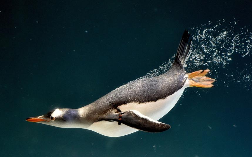 Пингвин в аквариуме в Мельбурне