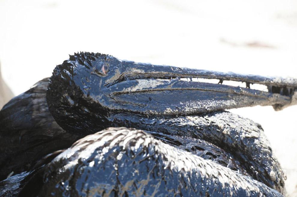 Нефтяной пеликан