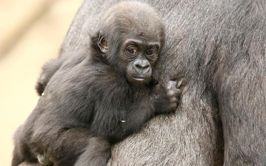Западный равнинный гориллы в зоопарке Австралии