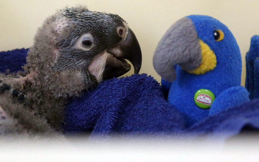 Новорожденный попугай ара знакомится с игрушкой