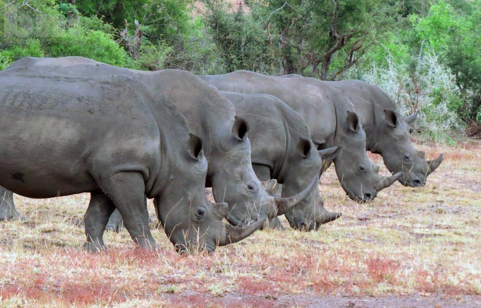 Носороги в Национальном парке Крюгера, Южная Африка
