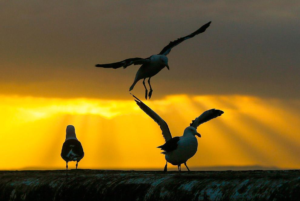 Чайки в Кейптауне, Южная Африка