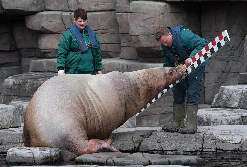 Измерения моржа в зоопарке в Гамбурге, Германия