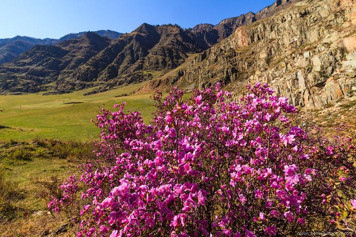 Цветущий маральник на Алтае