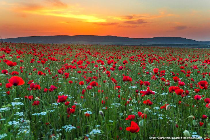 Маковые поля в Крыму