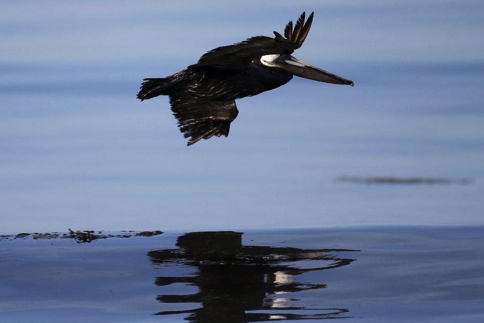 Птица, покрытая нефтью