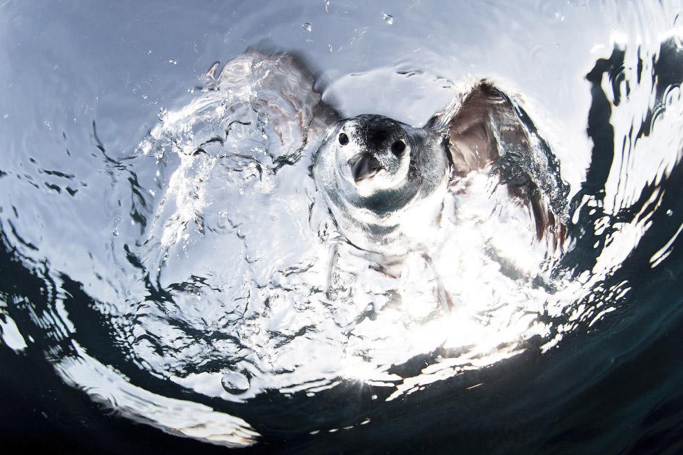 Красивая морская птица гавайский Буревестник