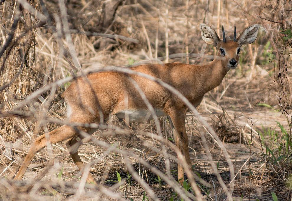 антилопа стинбок